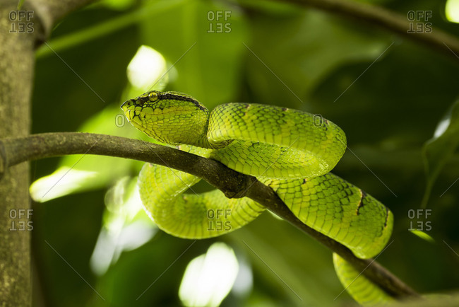 A green pitviper or tree viper (Trimeresurus sumatranus) lies on a branch in ambush position in the Gunung Leuser national park, Sumatra.