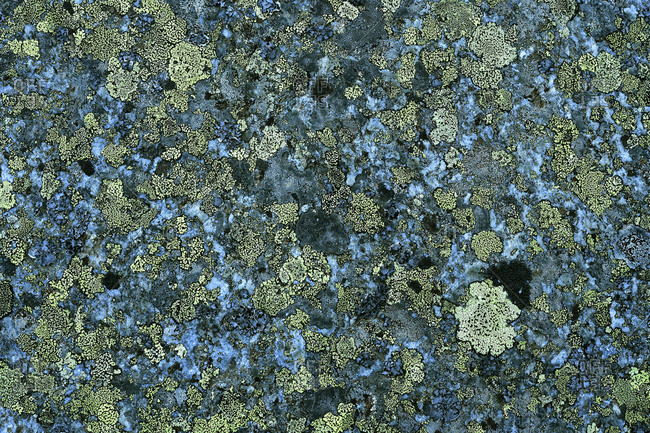 Green lichens on a rock fragment in the Stubai Alps.