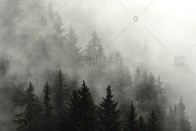 Thick alpine coniferous forest in the fog.