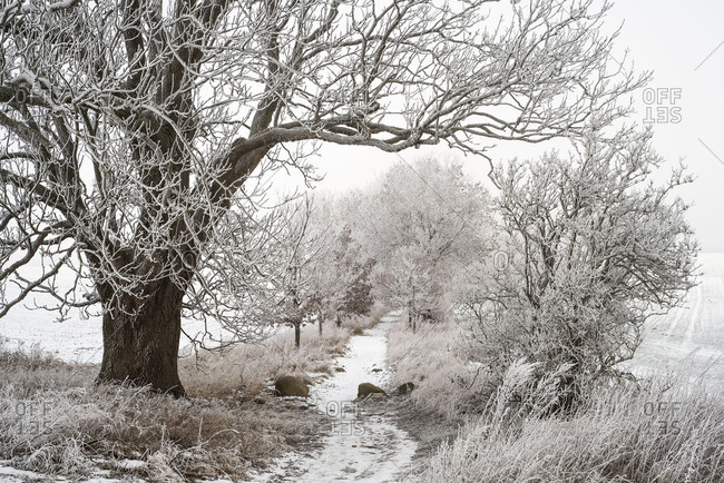 With hoarfrost covered and iced up trees in a narrow path.