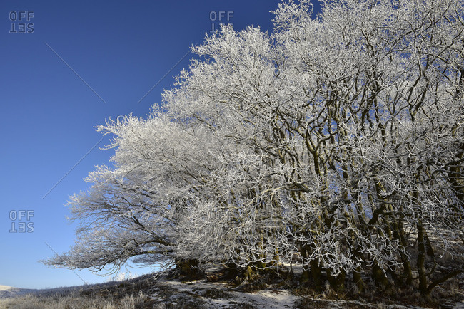 With hoarfrost covered beeches grove in front of blue sky.