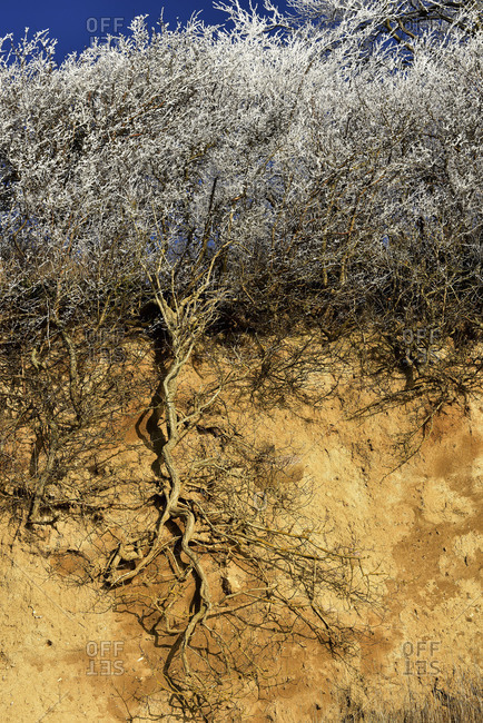 With hoarfrost covered bush with open root system in a steep coast. Recorded on Rugen.