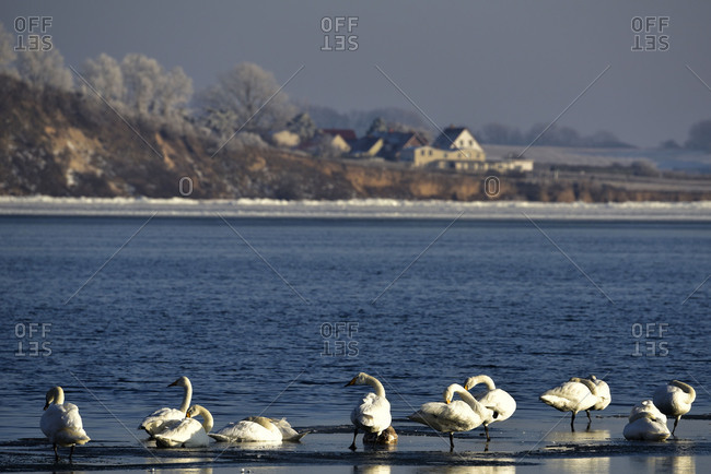 Swans on a floe in the wintry Bodden of the Baltic Sea on Rugen. In the background with hoarfrost covered trees and some houses.