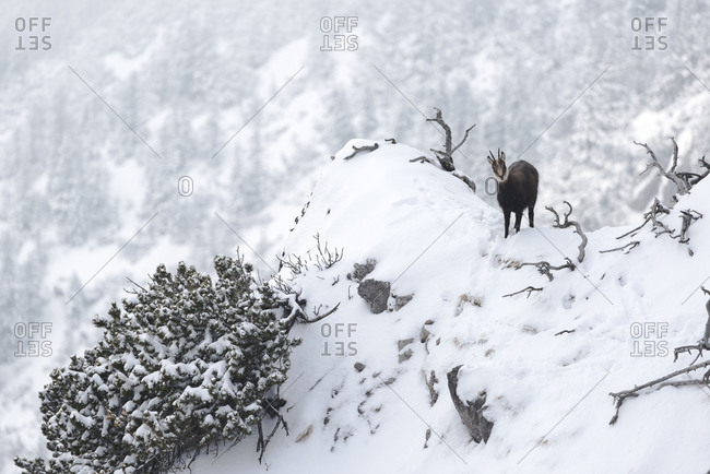 chamois on a snow-covered projection below the summit of the Herzogstand.