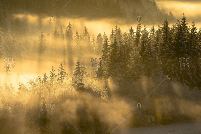Spruces with sunrays and thick fog in winter