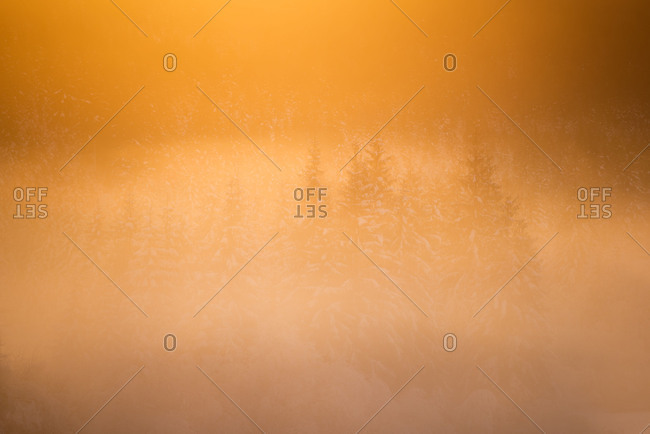Oranges sunlight in a late winter evening about a foggy spruce forest.