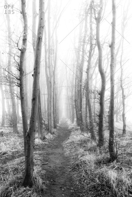 beench forest in the fog, a narrow path leads through