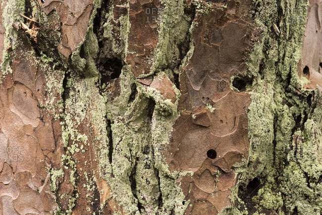 Bark of a pine with lichen