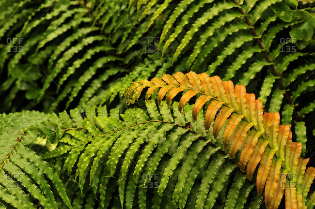 coloured fern leaf in front of green fern leaves
