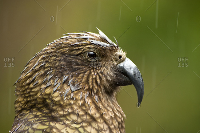 Kea in the rain