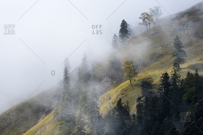 a maple tree in steep mountainside with fog and gently from the sun shone on.