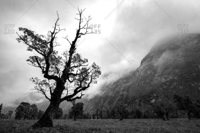An old maple tree with the last autumn foliage stretches itself gloomily to cloudy sky and mountainside.