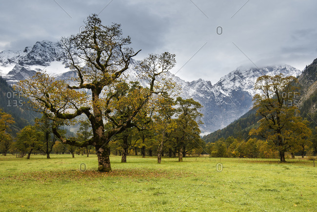 Autumnal maple trees in the Engtal (valley) in bad weather and dark clouds, in the background the mountains.