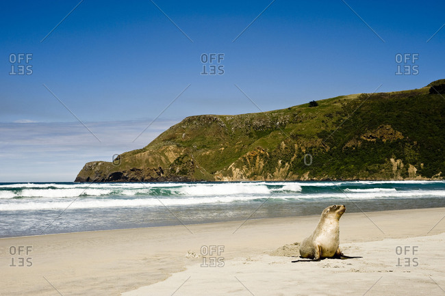 A cone seal lies on a New Zealand beach and looks to the viewer.