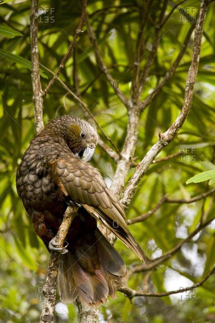 A wild Kaka (immediate relative of the Kea) cleans his plumage.