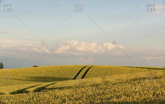 Germany- Bavaria- Irschenhausen- Grain field and tractor tracks