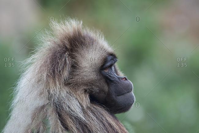 Portrait of gelada