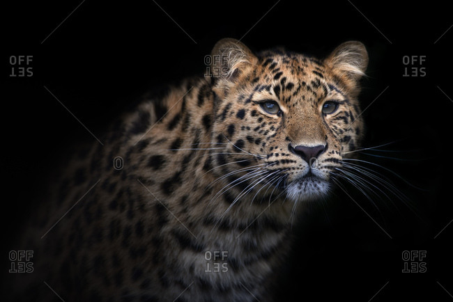 Portrait of Amur leopard in front of black background