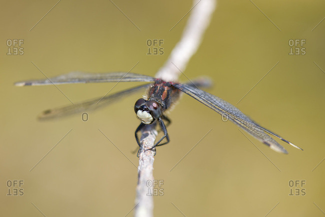 White-faced darter on twig