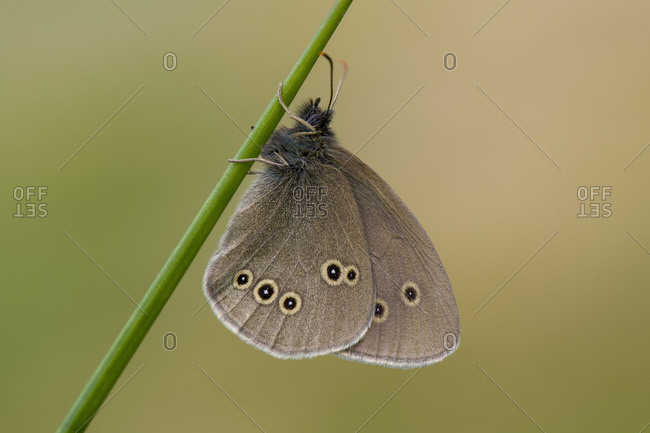 Ringlet on a blade of grass