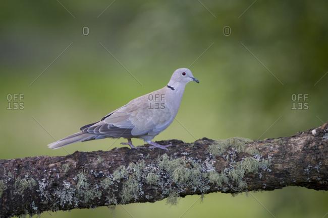 Eurasian collared dove on tree trunk