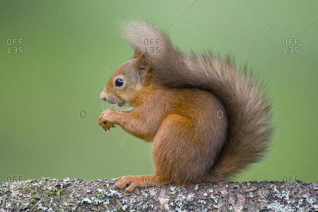 Portrait of red squirrel on tree trunk