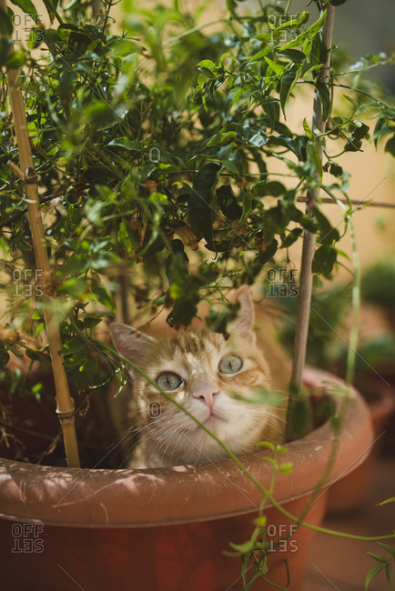 Portrait of ginger cat in a plant pot