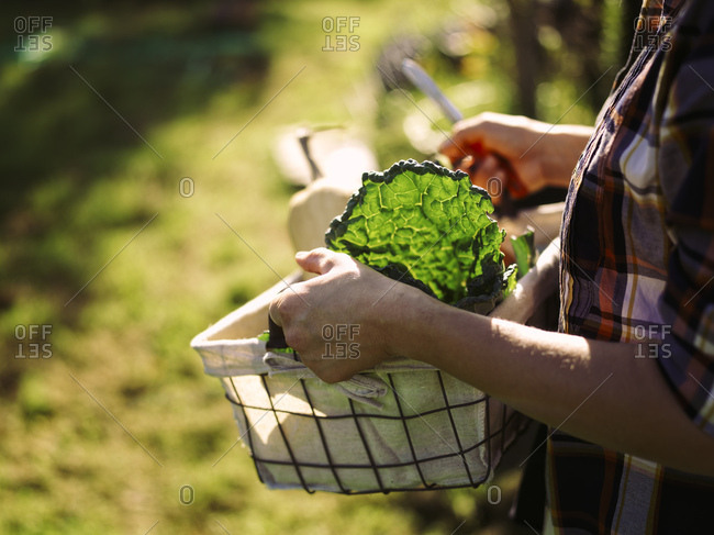 Woman carrying basket of harvested vegetables- partial view