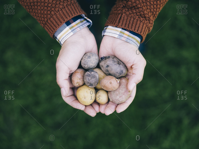 Woman's hands holding various sorts of small potatoes