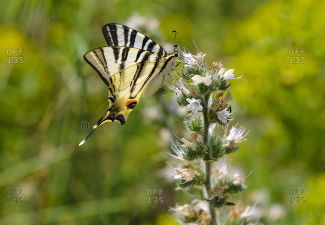 Albania- Scarce swallowtail- iphiclides podalirius- on echium