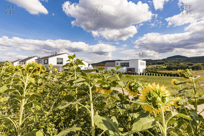 Germany- Baden-Wuerttemberg- Suessen- sunflower field and modern houses