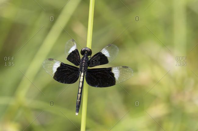 Thailand- Pied paddy skimmer- Neurothemis tullia
