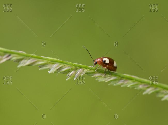 Thailand- ladybird- coccinellidae