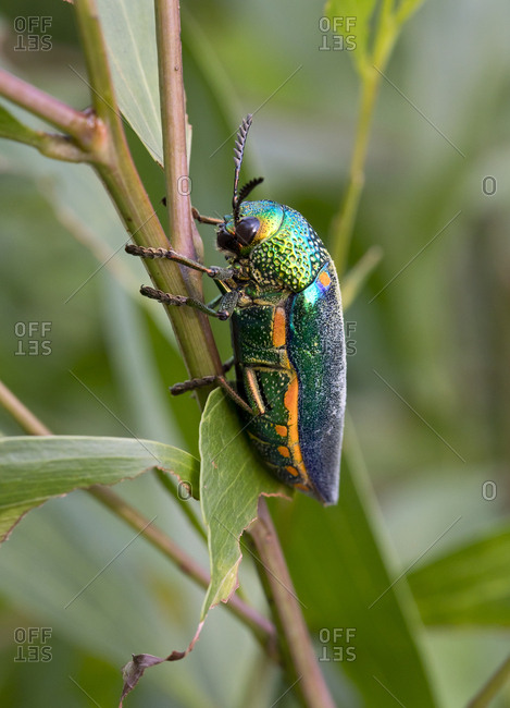 Thailand- Jewel beetle- Buprestidae