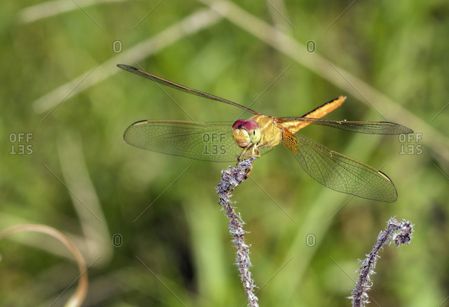 Scarlet skimmer- Crocothemis servilia- dragonfly- close-up