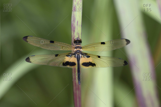 Rhyothemis phyllis- yellow-striped flutterer- dragonfly- close-up
