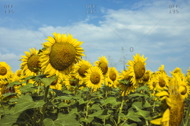 Field of sunflowers and clouds in the background
