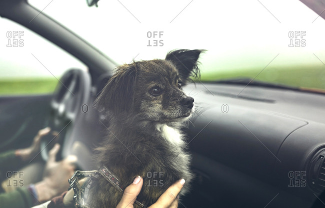 Portrait of small dog inside of car looking aside while travelling