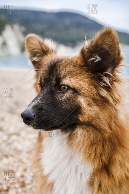 Italy- Vieste- portrait of stray dog on Vignanotica Beach