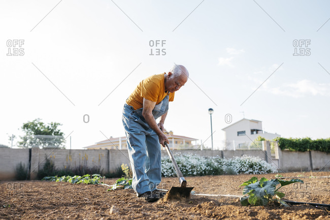 Senior man in denim overall working on farmland and weeding out earth with hoe