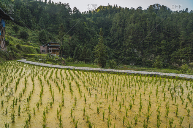 China- Guizhou- Miao rice plantation