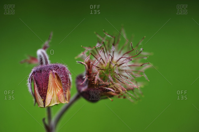 Common pasque flower in medium close-up (Pulsatilla pratensis).