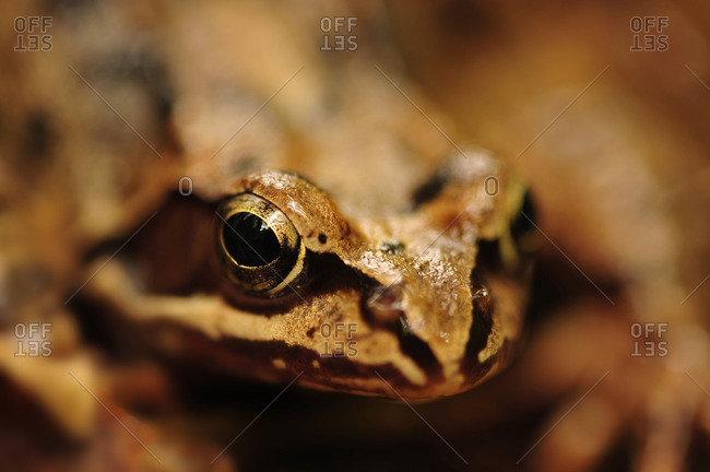 A brown frog in the portrait.