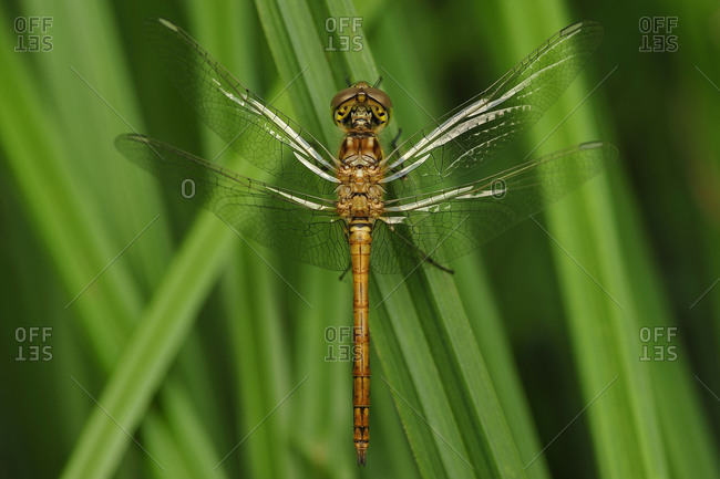 A common darter sits on a blade of grass