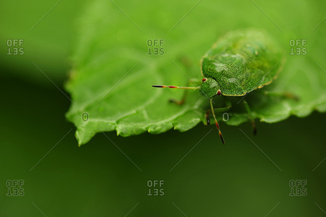 A green shield bug sits on a leaf
