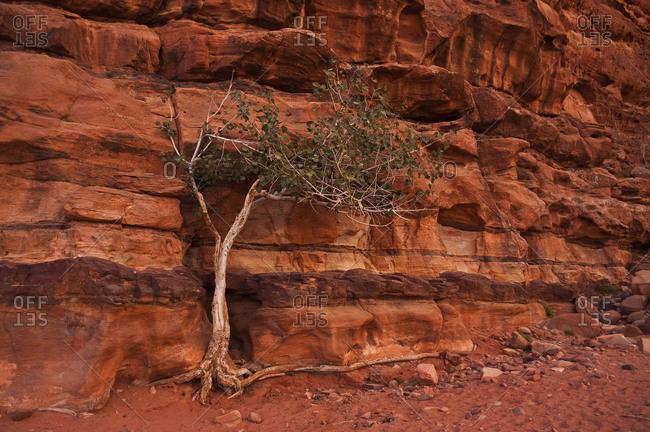 Single tree in the red desert of Wadi Rum, Jordan in a rock face grown.