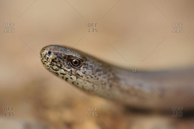 Portrait of a blindworm.