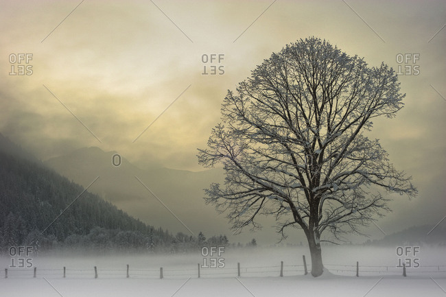 Single tree in wintry light mood with pasture fence