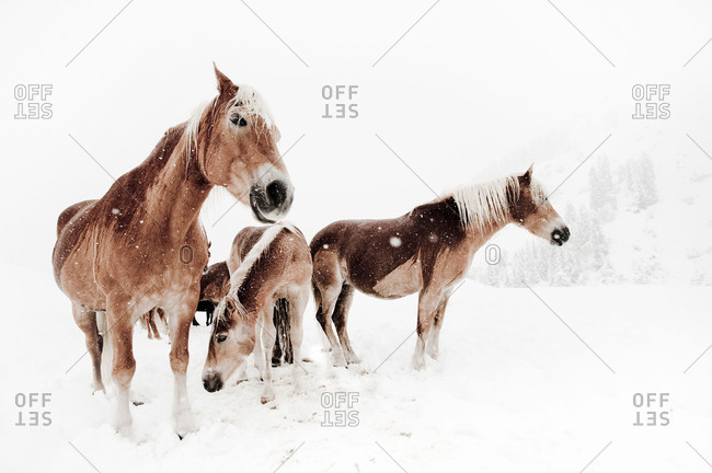 Picture serial of a group of Haflinger horses and a pony during it is snowing in white mountain landscape