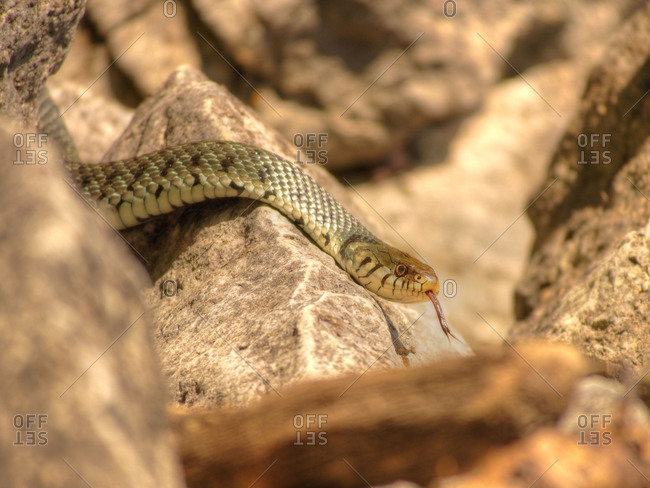 Ring snake searching for prey